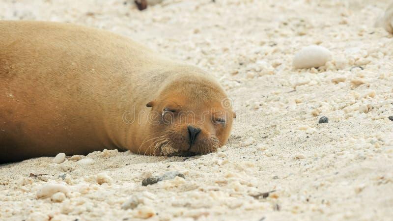 Sleeping sea lion at isla genovesa in the galapagos stock photo