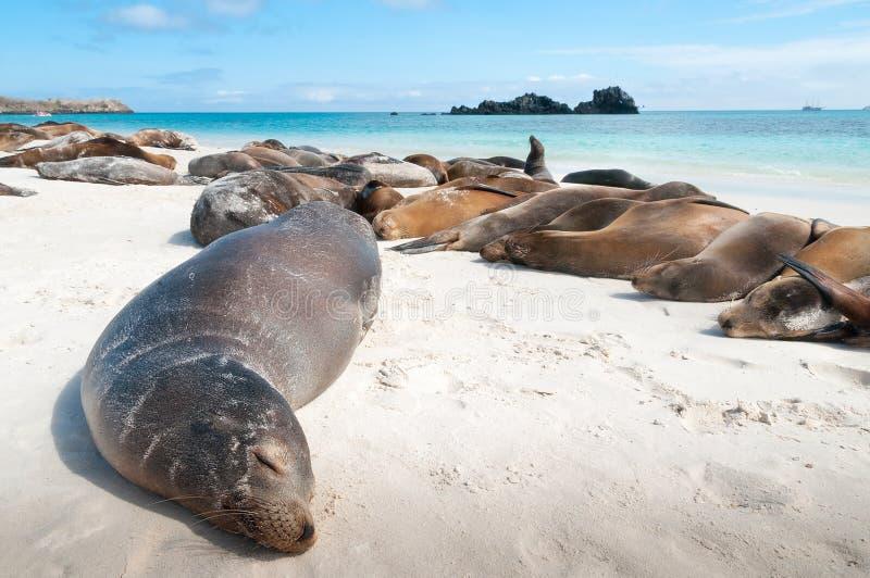 Sleeping sea lions Galapagos royalty free stock photos