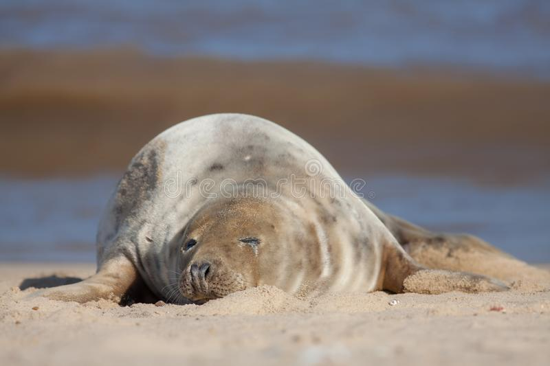 Sleeping seal. Cute tired animal taking a nap on the beach stock images