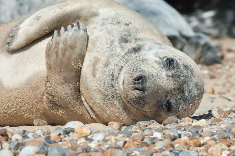 Sleeping seal pup royalty free stock photo