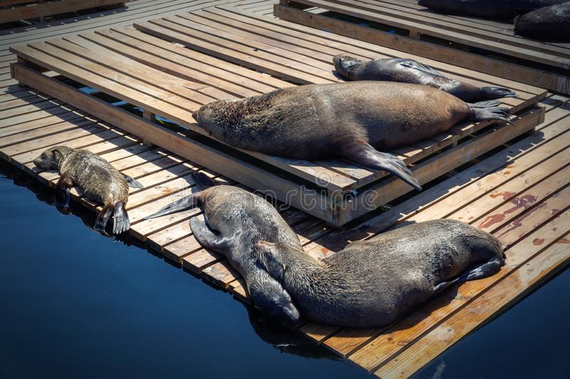 Sleeping seals at waterfront in Cape Town, South Africa stock image