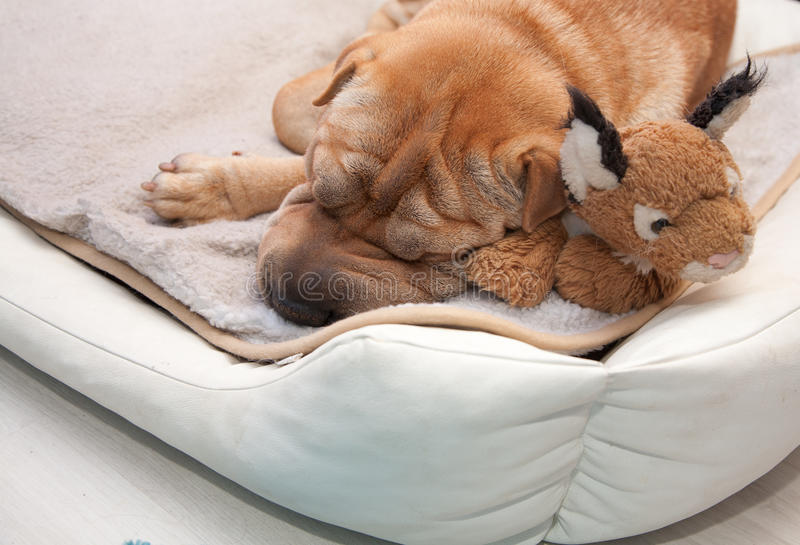 Sleeping sharpei dog. With toy royalty free stock image