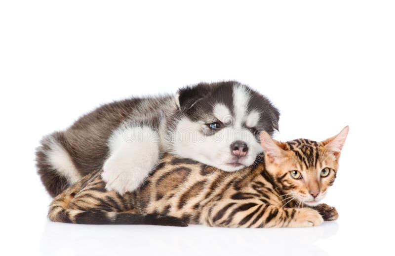 Sleeping Siberian Husky puppy embracing bengal cat. isolated on white background.  stock photos
