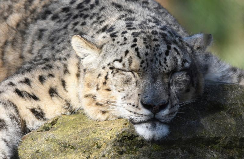 Sleeping snow leopard. A snow leopard sleeps peacefully on a rock in semi sund and semi shade royalty free stock images