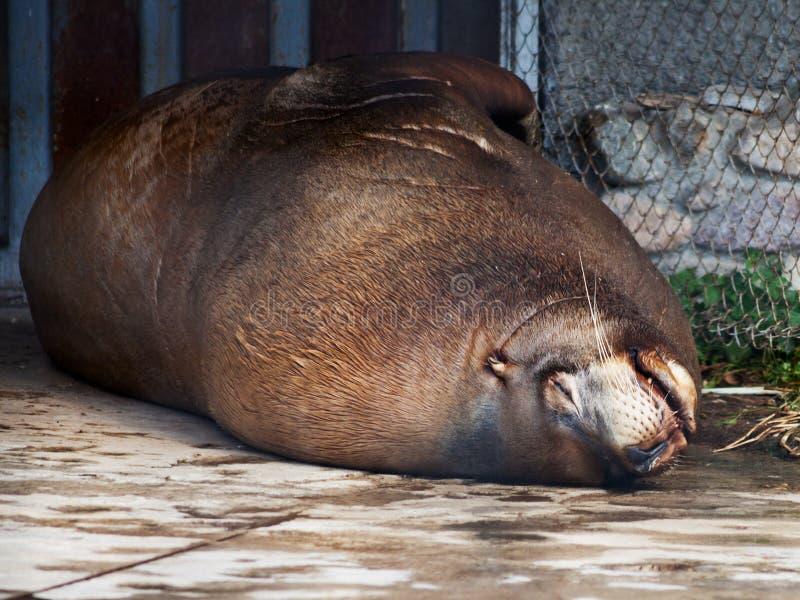Sleeping steller sea lion stock images