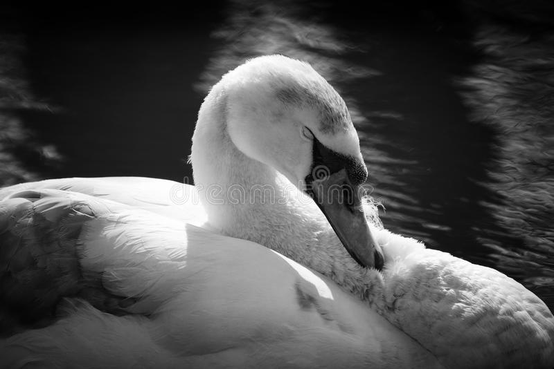 Sleeping Swan In Black And White. A black and white image of a swan sleeping on the water, much detail. Taken on the River Yare, Norfolk stock photos