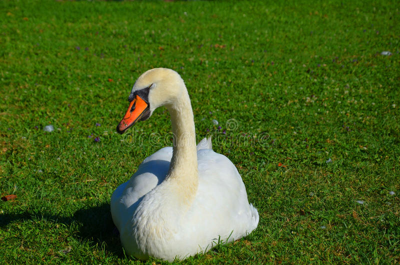 Download Sleeping swan stock image. Image of pure, swan, lawn - 33185419