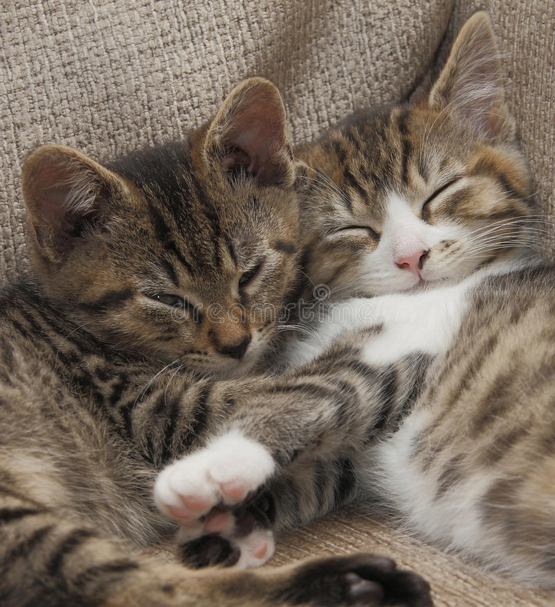 Download Sleeping tabby kittens stock image. Image of cute, forever - 27487069