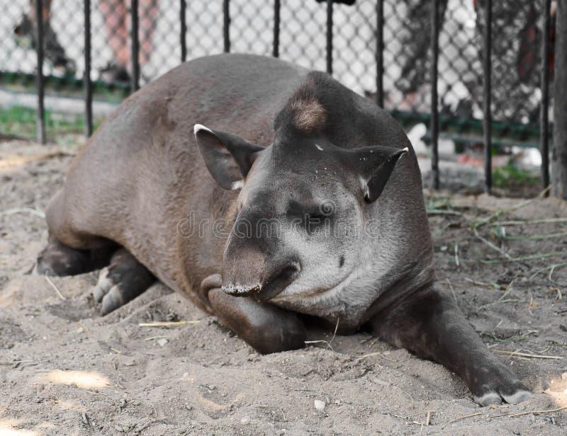 Sleeping Tapir Royalty Free Stock Image