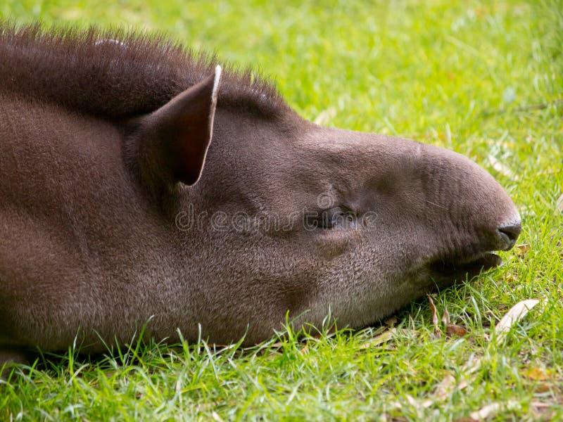 Download Sleeping tapir stock photo. Image of grass, life, bairdii - 23861502