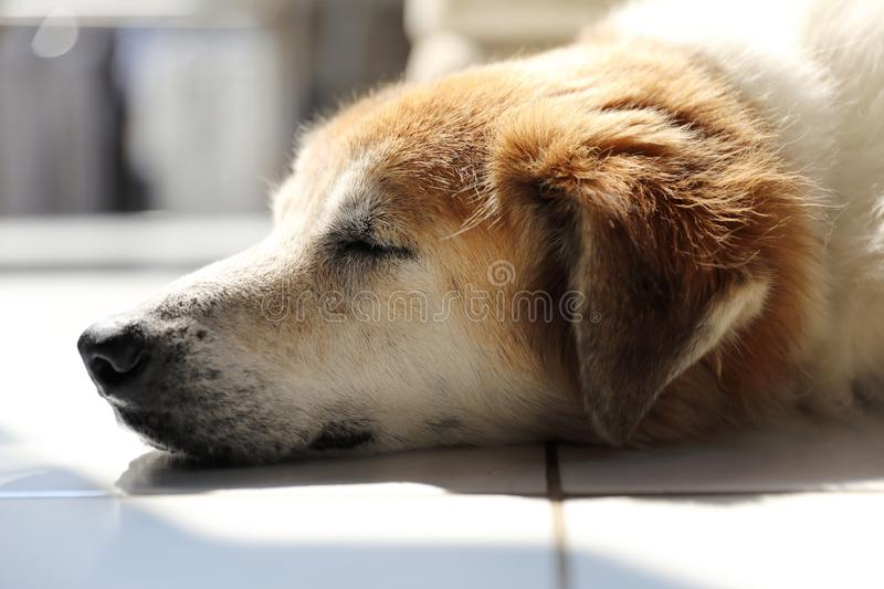 Sleeping thai dog. With the morning light royalty free stock images