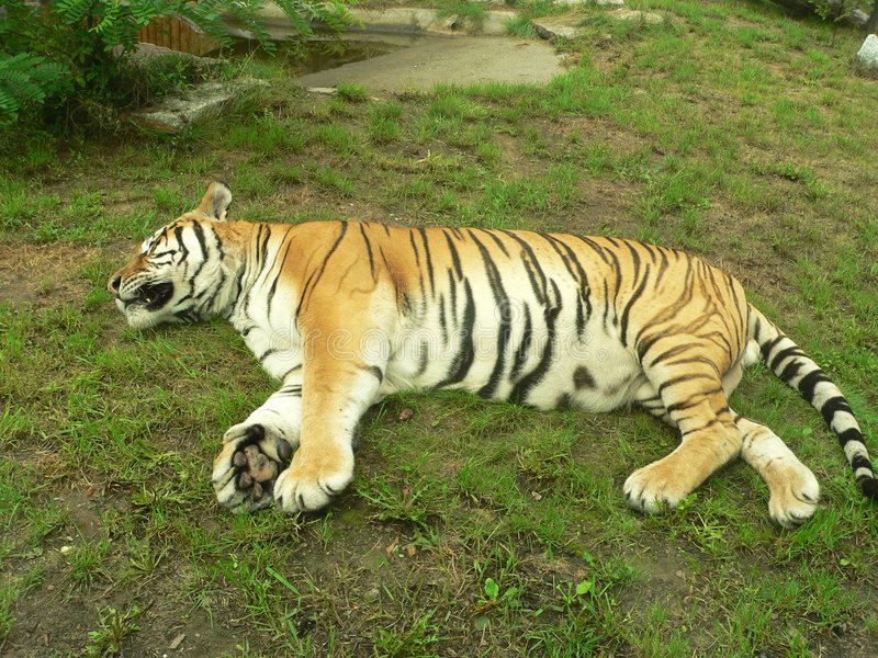 Sleeping tiger. Whole photo of sleeping tiger in the zoo stock photos