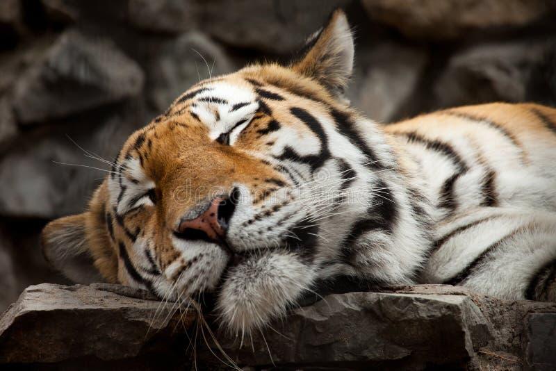Sleeping tiger. Face portrait closeup royalty free stock image