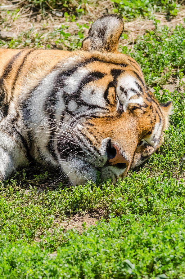 Sleeping Tiger. Portrait Close Up royalty free stock photography