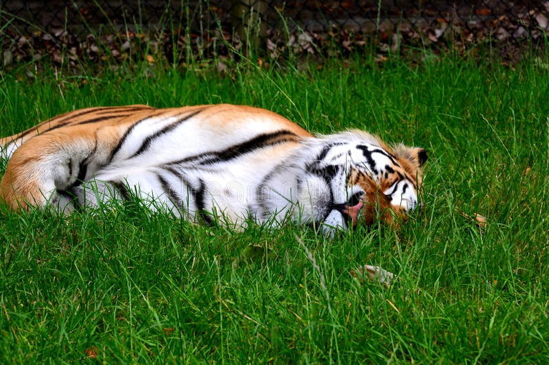 Sleeping tiger. Quiet sleepy tiger safari zoo. Very Nice background with green grass gives a contrast of white and brown striped fur. fascinating ferocity and royalty free stock images