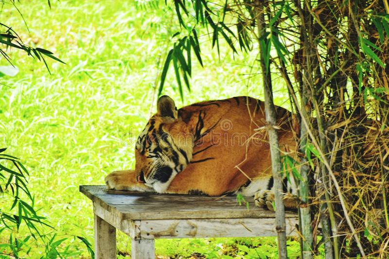 Sleeping tiger. A Tiger sleeping on wooden table with grass in background stock image