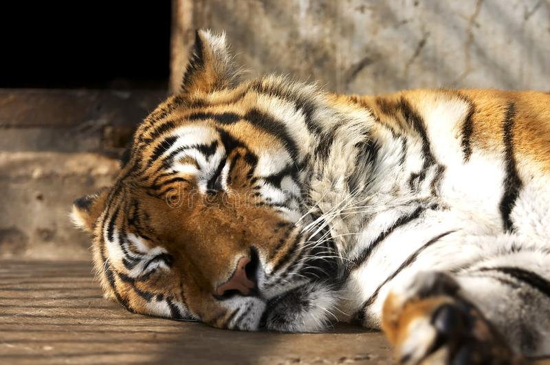 Sleeping tiger in the zoo royalty free stock photo