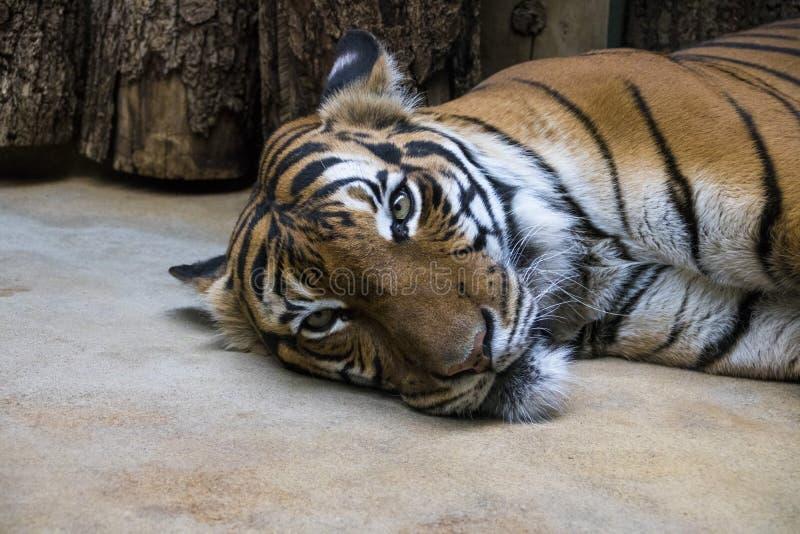 Sleeping tiger in ZOO royalty free stock photos