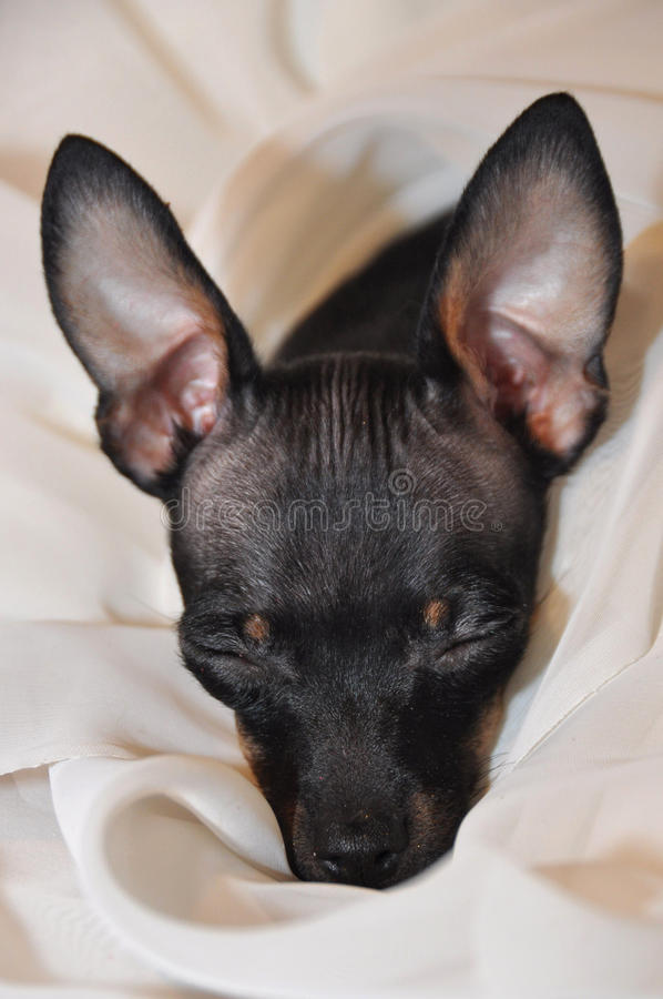 Sleeping toy terrier royalty free stock photos