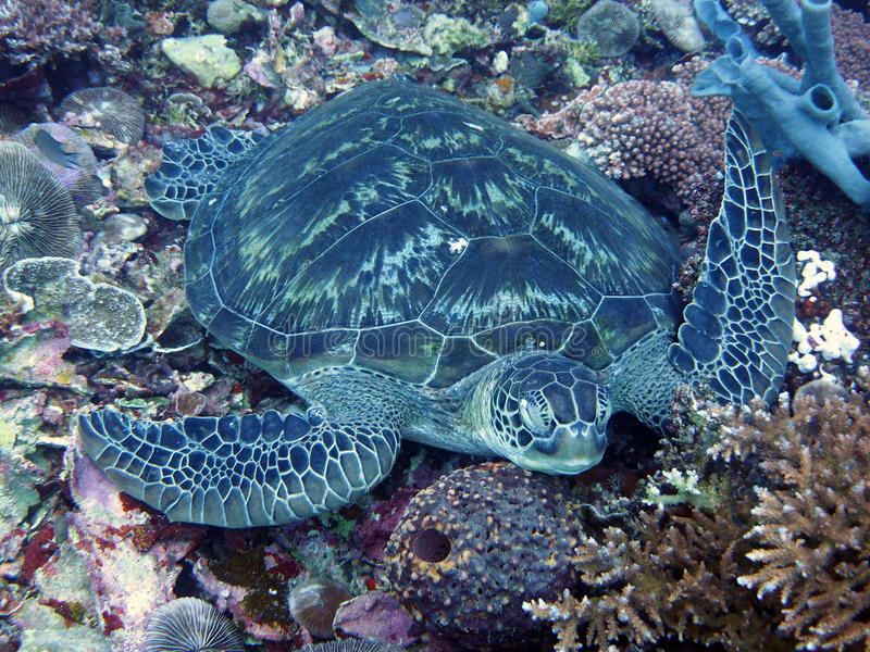 Sleeping turtle on corals royalty free stock images