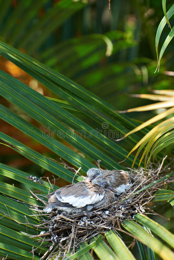 Sleeping white dove chicks stock image
