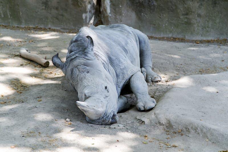 Sleeping white rhinoceros (Ceratotherium simum) royalty free stock photography
