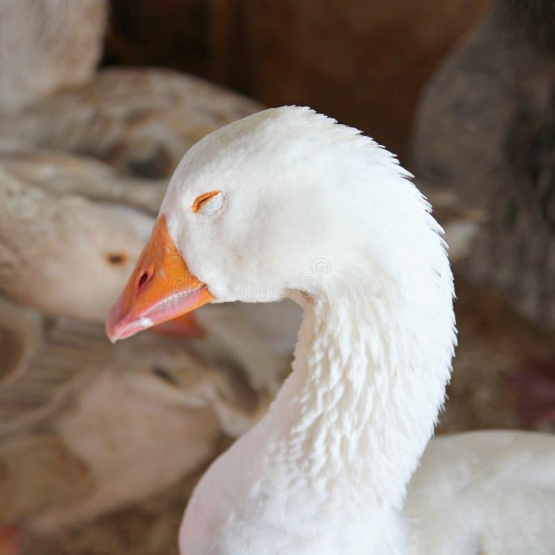 Free Sleeping White Snow Goose Stock Photo - 43244340