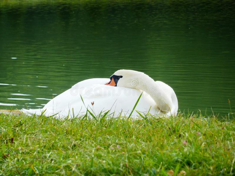 The sleeping white swan on the bank of the lake royalty free stock images