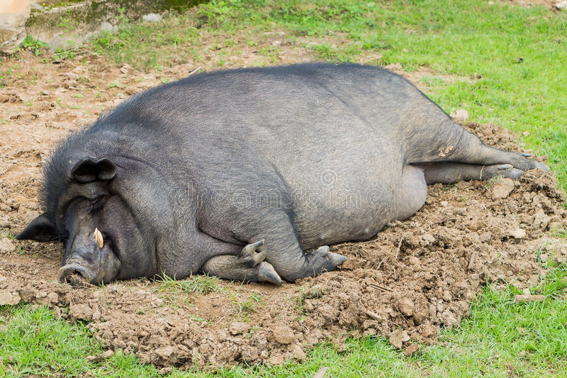 A sleeping wild boar. stock image. Image of black, face ... Giant Wild Boar Photos