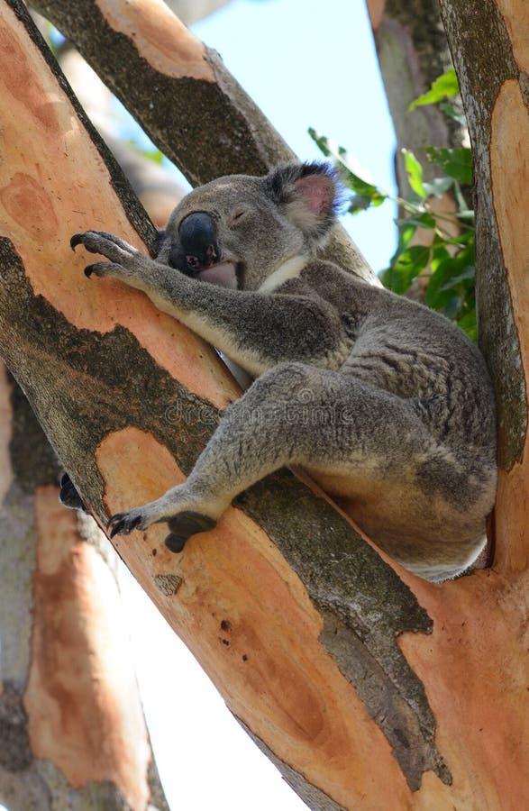 Sleeping wild koala in a gum tree stock image