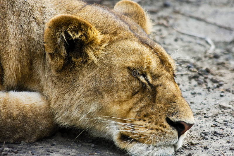 Sleeping Wild Lioness stock image