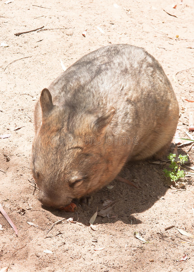 Download Sleeping wombat stock photo. Image of rock, shadow, face - 24406564