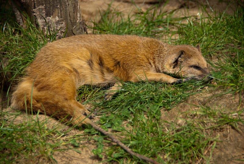 Sleeping yellow mongoose close-up royalty free stock images