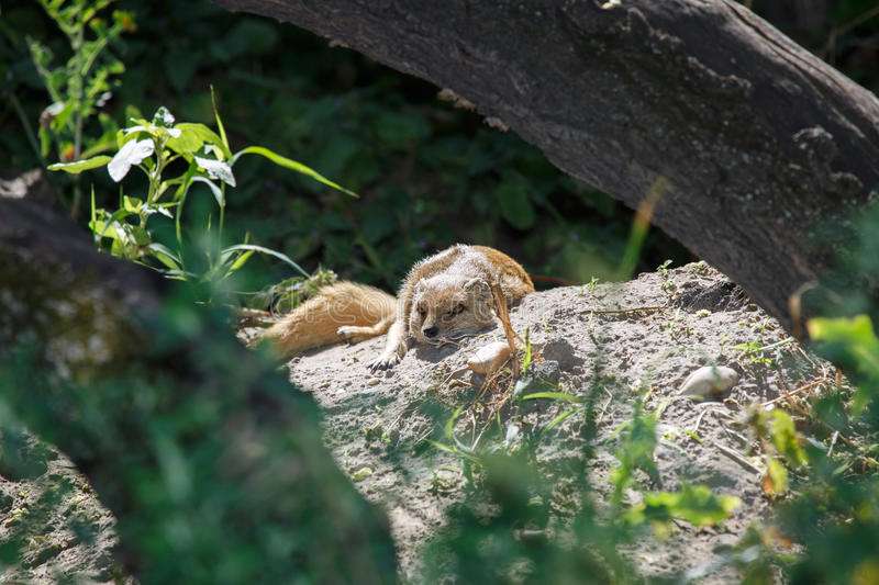 Sleeping yellow mongoose in the shade of a tree. royalty free stock image