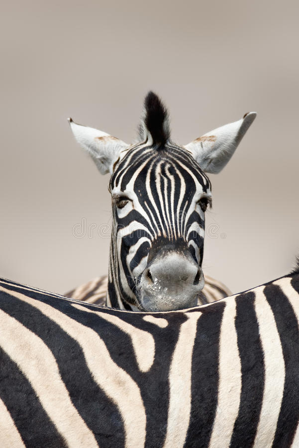 Sleeping Zebra Portrait Royalty Free Stock Image