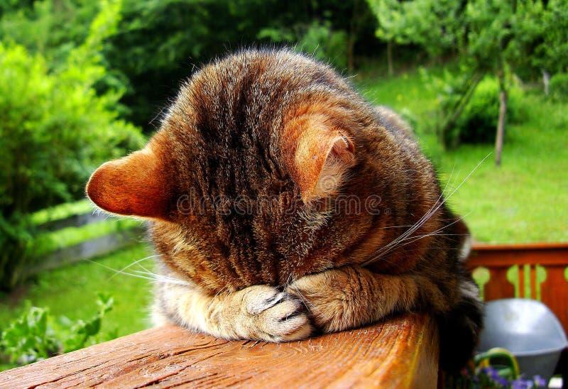 Sleepling猫 免版税库存图片