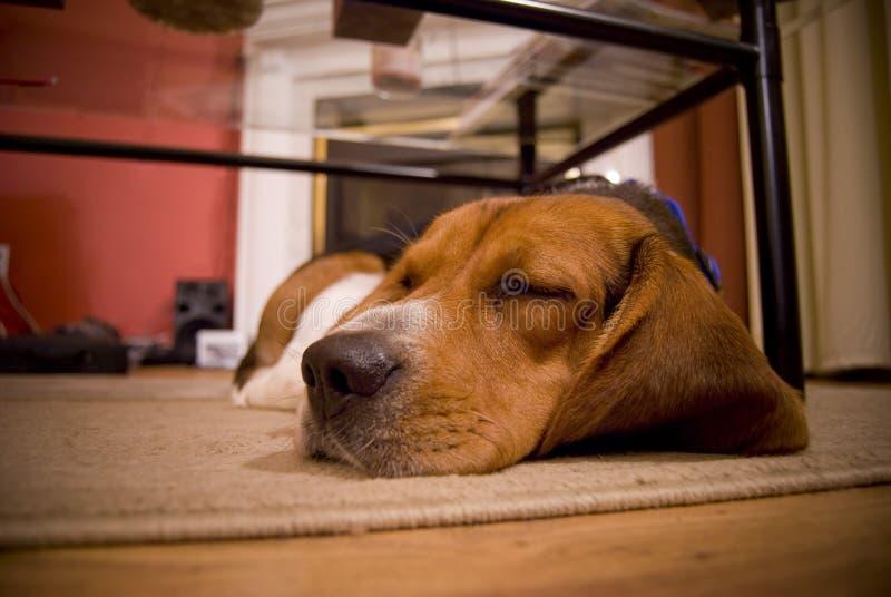 Sleepy beagle royalty free stock photos
