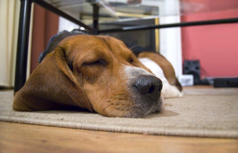 Sleepy Beagle Dog royalty free stock images
