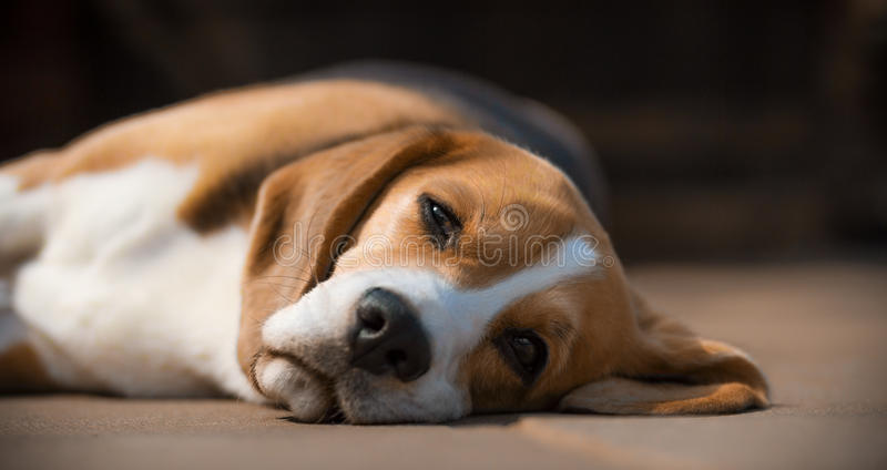 Sleepy beagle dog on side royalty free stock image