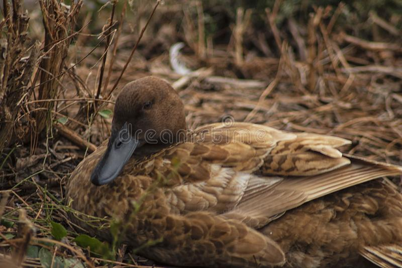 The Sleepy Brown Duck in the Brown Grass. `The Sleepy Brown Duck in the Brown Grass` is a photo captured at Idle Hour Park, located in Phenix City, Alabama royalty free stock photography