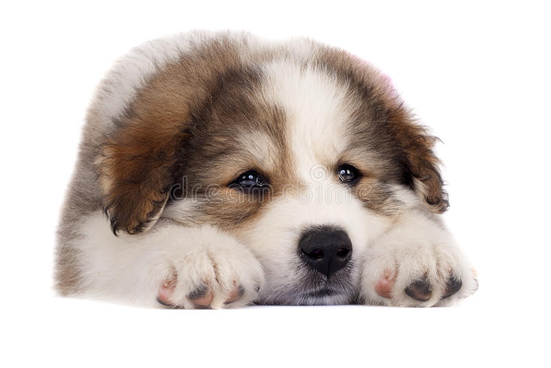 Download Sleepy bucovinean sheperd stock image. Image of doggy - 14622167