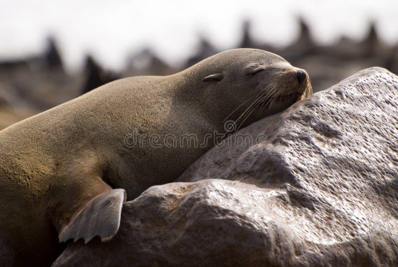 Sleepy Cape Fur Seal Stock Photo