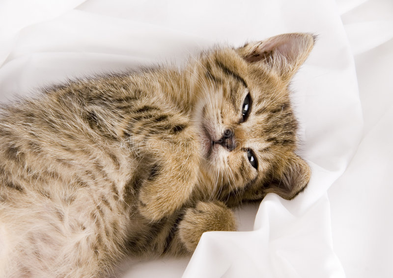 Sleepy cat. Cat - the small furry animal with four legs and a tail; people often keep cats as pets stock images