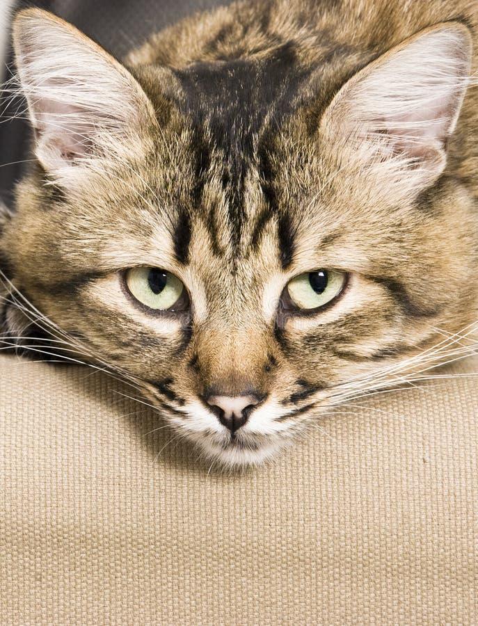 Download Sleepy Cat Royalty Free Stock Image - Image: 20909026