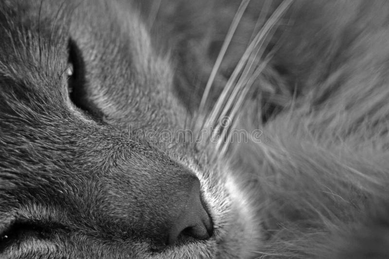 Sleepy cat. Abstract of detail of cat's facial features, close up of nose, eyes and whiskers in black and white stock images
