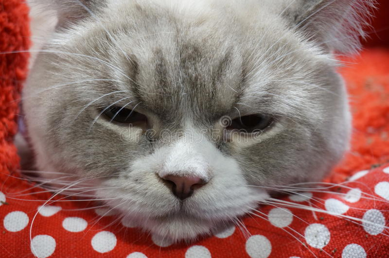 Sleepy cat royalty free stock image