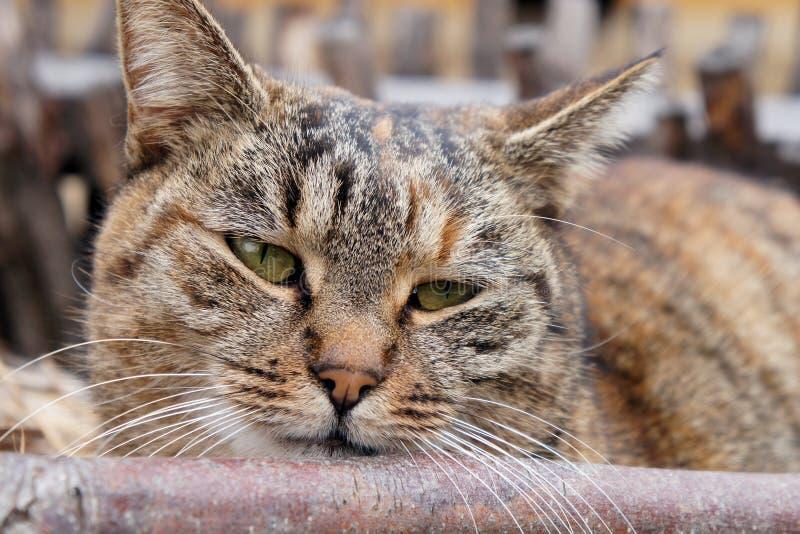 Sleepy cat. Tabby cat with green eyes stock image