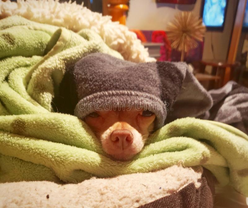 Sleepy Chihuahua stock images