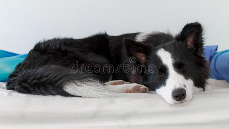 Sleepy collie stock photography