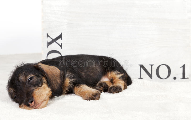 Sleepy dachshund puppy in front of a wooden box. Sleepy dachshund puppy lying in front of a wooden box stock image